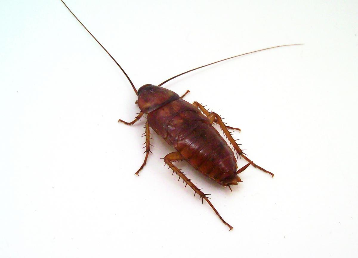 cockroach on white background to represent pest control in jacksonville, fl 32244