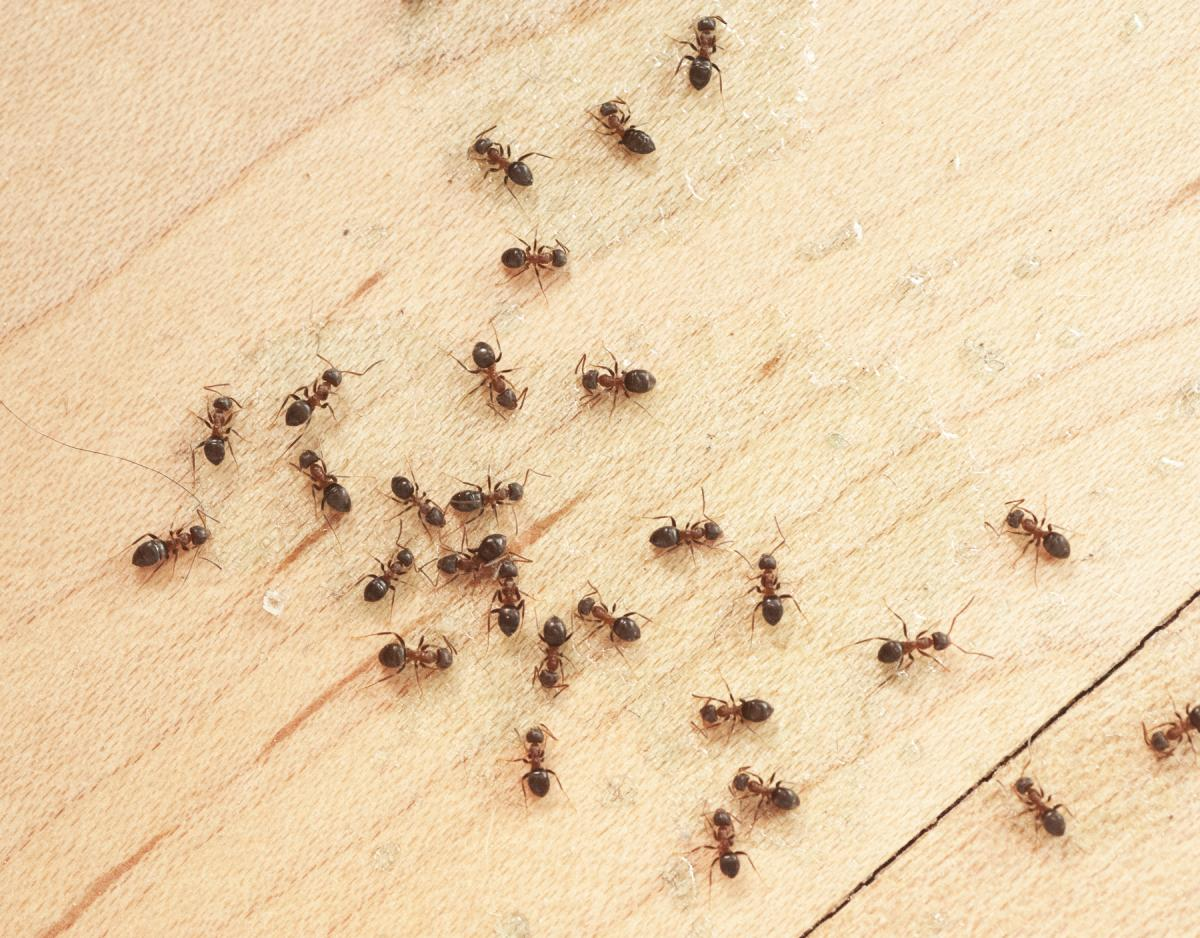 ants on wooden background to represent ant control in jacksonville, fl 32244