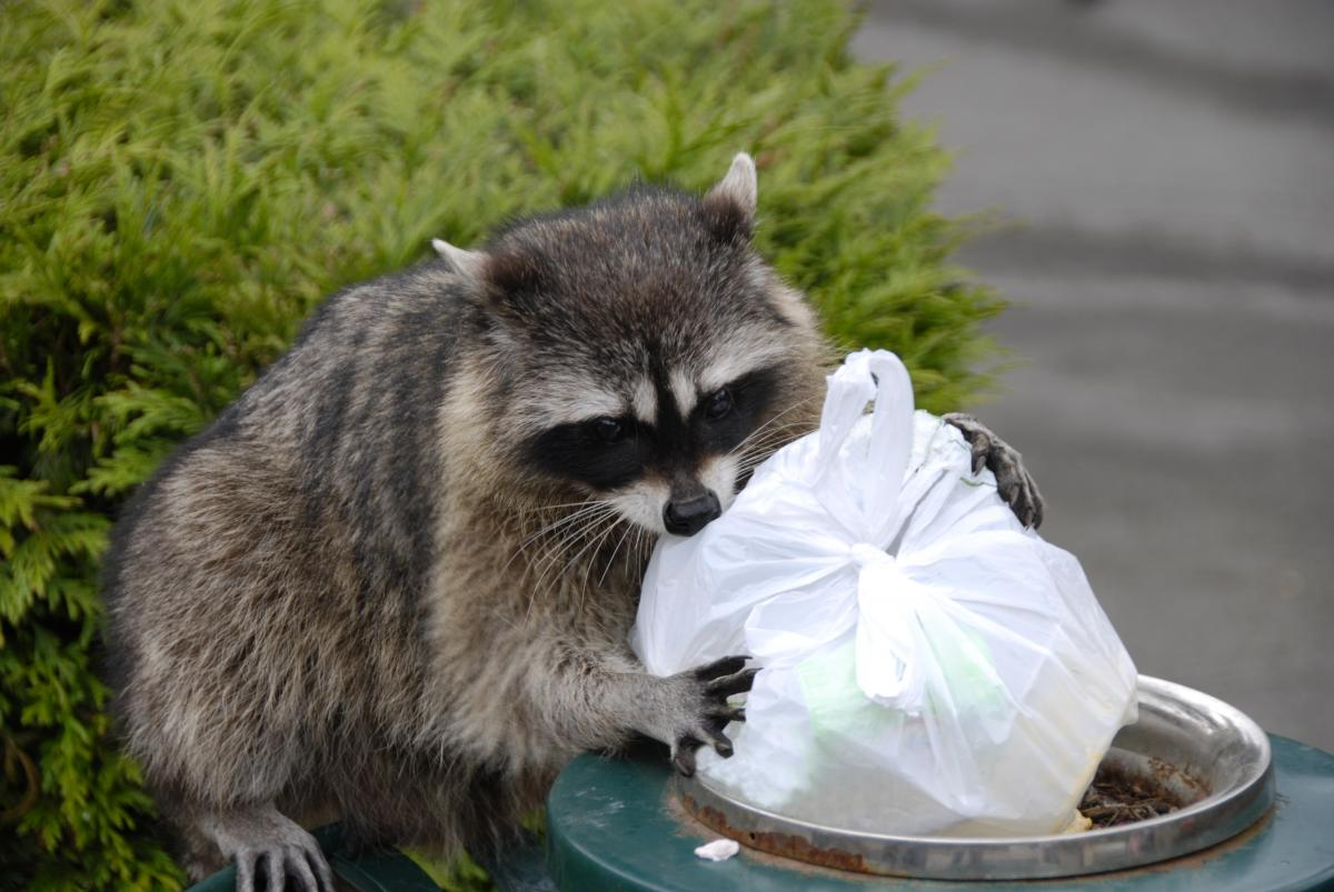 raccoon stealing trash from a trashcan to represent wildlife control in jacksonville, fl 32244
