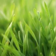 Close-up of healthy, green lawn